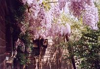 View from the back door of the wisteria in full bloom